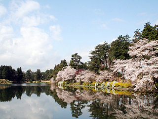 春の桜満開の恋ヶ窪池