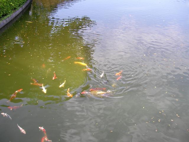 10番に渡るところの鯉
